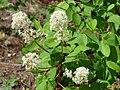 Blooming ceanothus (c032043a88c84deda184fc1fa25b6418).JPG