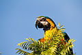 Blue-and-yellow Macaw - Guacamayo azul y amarillo (Ara ararauna) (15539652228).jpg