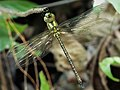 Blue-faced Darner. Coryphaeschna adnexa, teneral male (42898285571).jpg