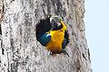 Blue & Yellow Macaw (Ara ararauna) (8079750292).jpg