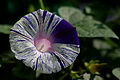 Blue Morning Glory.jpg