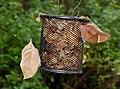 Blue Oakleaf and Great Eggfly by Dr. Raju Kasambe DSCN7988 (3).jpg