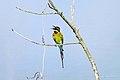Blue Tailed Bee Eater - വലിയവേലിത്തത്ത1 (13033193285).jpg