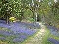 Bluebells, Leonardslee Gardens - geograph.org.uk - 896249.jpg