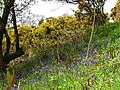 Bluebells and Gorse, Fordmill Farm - geograph.org.uk - 671288.jpg
