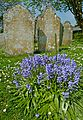 Bluebells in Budock churchyard (5660410795).jpg