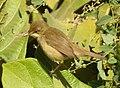 Blyth's Reed Warbler Acrocephalus dumetorum by Dr. Raju Kasambe DSCN6293 (1).jpg