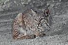 Bobcat (Lynx rufus) California.jpg