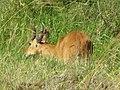 Bohor Reedbuck, male, Serengeti.jpg
