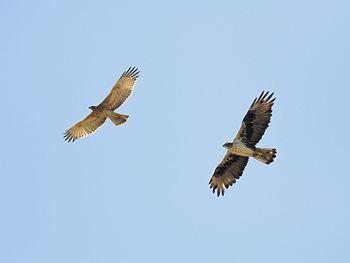 Bonellis Eagle (Adult & Juv)-3732.jpg