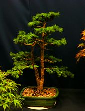 Bonsai fir, photo by daphneann.jpg