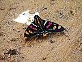 Borboleta Mimoniades versicolor Serra do Japi. - panoramio.jpg