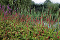 Border of lakeside plants Capel Manor College Gardens Enfield London England 1.jpg