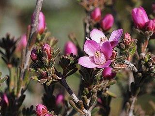 <i>Boronia capitata</i> species of plant