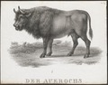 Bos primigenius - 1700-1880 - Print - Iconographia Zoologica - Special Collections University of Amsterdam - UBA01 IZ21200153.tif