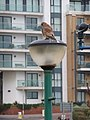 Boscombe, kestrel on lamppost - geograph.org.uk - 1100584.jpg