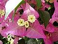 Bougainvillea glabra (BG Wroclaw)-3.JPG