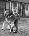 Boy helping calf stand (6360165415).jpg