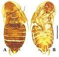 Brachylatindia (10.3897-zookeys.867.35991) Figure 4.jpg
