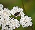 Braconidae, Agathidinae (38896097825).jpg