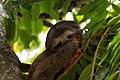 Bradypus tridactylus -Parque del Este, Caracas, Venezuela-8 (4).jpg
