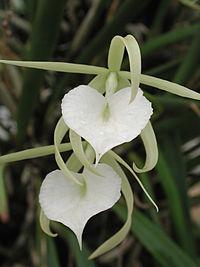 Brassavola nodosa - Flicker 003.jpg