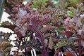 Brassica oleracea Redbor 0zz.jpg