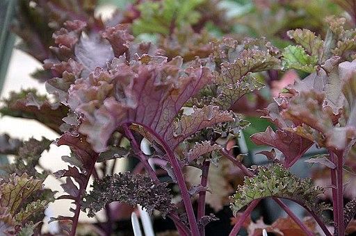 Brassica oleracea Redbor 0zz