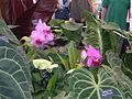 Brassocattleya cv (2943603431).jpg