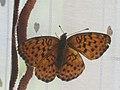 Brenthis daphne - Marbled fritillary - Перламутровка малинная (26271264967).jpg