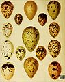 British birds with their nests and eggs (1896) (14755322445).jpg
