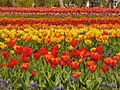 Britzer Garten - Tulipan 2013 - geo.hlipp.de - 36165.jpg