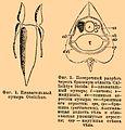 Brockhaus and Efron Encyclopedic Dictionary b50 772-1.jpg
