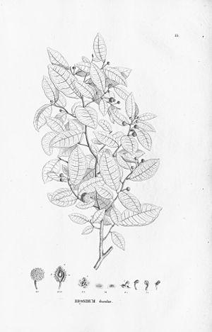 Brosimum - Brosimum guianense parts drawing