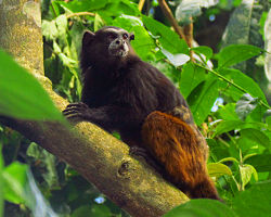 Brown-mantled Tamarin.jpg