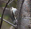 Brown Creeper (25769981233).jpg