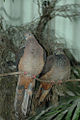 Brown Cuckoo Doves.jpg