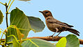Brown rock chat at IIT Delhi.jpg