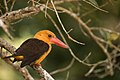 Brown winged Kingfisher.jpg