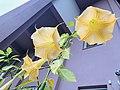 Brugmansia aurea flower 2.jpg