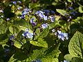Brunnera macrophylla, 2015-04-29, Bird Park, Mount Lebanon, Pennsylvania, 02.jpg