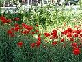 Bucuresti, Romania. Bd. Magheru. O oaza cu Maci rosii in mijlocul orasului. 11 Mai 2020.jpg