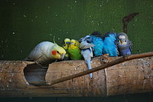 Dutch Law Bans Hand-Rearing Young Parrots   That Bird Blog