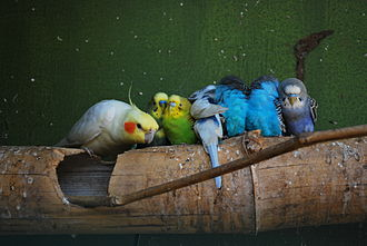 Aviculture - Budgerigars and a cockatiel in captivity