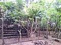 Budidaya Bebek - panoramio.jpg