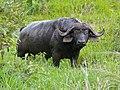 Buffalo Bull (Syncerus caffer) (11838910043).jpg