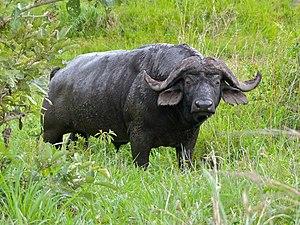 Bovinae - African buffalo bull   (Syncerus caffer)