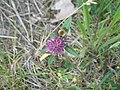 Bumblebee - panoramio.jpg