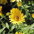 Buphthalmum salicifolium-IMG 3587.jpg