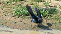 Burchell's Starling (Lamprotornis australis) (6005567455).jpg